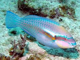 striped parrot fish