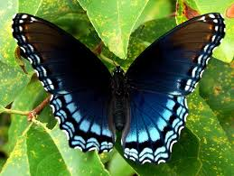 butterfly morning glory