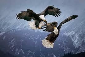 eagle-pair